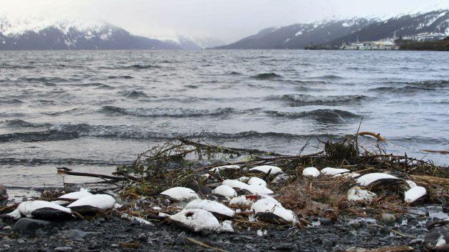 uhynuté morské vtáctvo