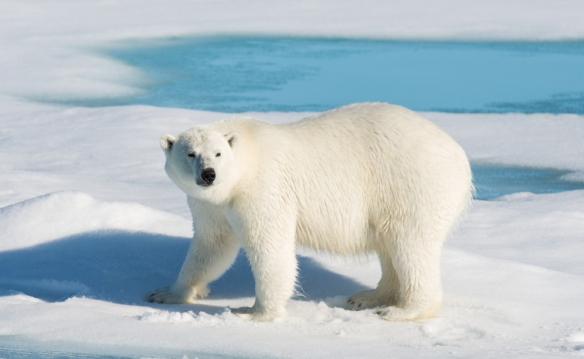 polárny medveď