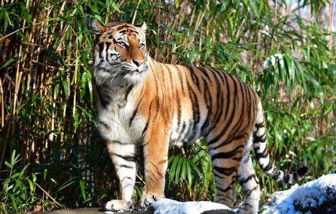 tiger v newyorskej ZOO v roku 2017